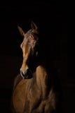 Il cavallo allinea il ritratto Fotografie Stock