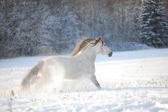 Il cavallo andaluso grigio attraverso galoppa la neve Fotografia Stock