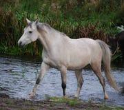 Il cavallo arabo cammina in un'insenatura Immagini Stock Libere da Diritti