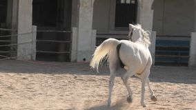 Il cavallo arabo esegue Doha archivi video