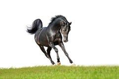 Cavallo arabo espressivo nero isolato su bianco Immagini Stock Libere da Diritti