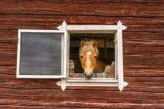 Il cavallo attacca la sua testa attraverso una finestra e esamina la macchina fotografica Fotografia Stock