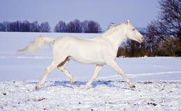 Il cavallo bianco funziona nel campo di neve sui precedenti del cielo di sera immagine stock libera da diritti