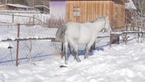 Il cavallo bianco ottiene l'alimento sotto la neve Paesaggio di inverno in villaggio innevato 4K video d archivio