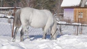 Il cavallo bianco ottiene l'alimento sotto la neve Paesaggio di inverno in villaggio innevato 4K archivi video