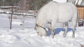 Il cavallo bianco ottiene l'alimento sotto la neve Paesaggio di inverno in villaggio innevato Movimento lento video d archivio