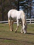 Il cavallo bianco pasce Fotografia Stock