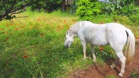 Il cavallo bianco sta pascendo sul prato verde al bello giorno soleggiato, mangiante l'erba video d archivio