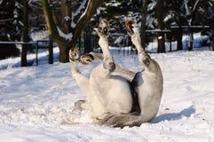 Il cavallo bianco sta rotolando fotografie stock