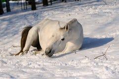 Il cavallo bianco sta rotolando fotografia stock libera da diritti
