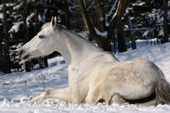 Il cavallo bianco sta rotolando fotografie stock libere da diritti