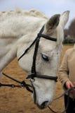 Il cavallo in cablaggio Fotografia Stock