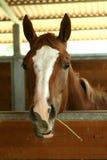 Il cavallo capo mangia il fieno Immagini Stock Libere da Diritti