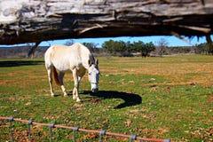 Il cavallo che guarda sotto recinta il pascolo Immagini Stock Libere da Diritti