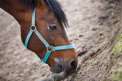 Il cavallo che mastica la corteccia Fotografia Stock Libera da Diritti