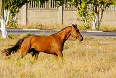 Il cavallo con una breve criniera nera funziona sull'alta erba asciutta Fotografia Stock