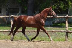 Il cavallo da corsa del purosangue funziona su un prato verde dell'estate Fotografia Stock Libera da Diritti