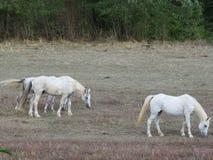 IL-cavallo stockbild