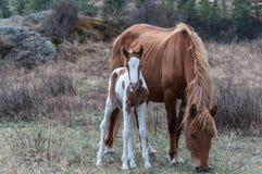Il cavallo del puledro pasce la montagna Fotografia Stock Libera da Diritti