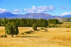 Il cavallo dell'agricoltore è nel campo pascuto Immagine Stock