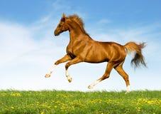 Il cavallo della castagna galoppa nel campo Fotografie Stock