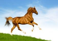 Il cavallo della castagna galoppa su una collina verde Immagine Stock Libera da Diritti