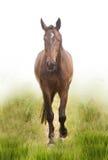Il cavallo di baia Fotografia Stock Libera da Diritti