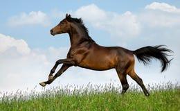 Il cavallo di baia galoppa nel campo Fotografie Stock Libere da Diritti