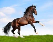 Il cavallo di baia galoppa nel campo Fotografia Stock