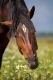 Il cavallo di baia mangia Fotografia Stock