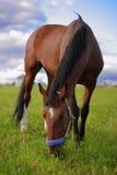 Il cavallo di baia mangia l'erba verde Immagini Stock Libere da Diritti