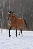 Il cavallo di baia trotta nel campo Fotografia Stock Libera da Diritti