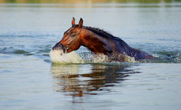 Il cavallo di Brown galleggia nello stagno Fotografia Stock Libera da Diritti
