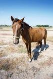 Il cavallo di Brown nel deserto è nella piena crescita Immagine Stock