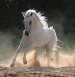 il cavallo di galoppo esegue il bianco