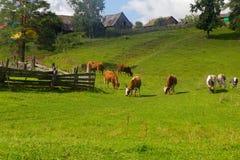 Il cavallo e la mucca pascono in un prato vicino al villaggio Immagini Stock Libere da Diritti