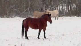 Il cavallo e le mucche sul campo in neve infuriano archivi video