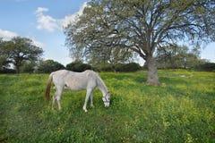 Il cavallo grigio Fotografia Stock Libera da Diritti
