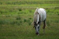 Il cavallo grigio Fotografie Stock