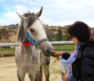 Il cavallo grigio con la briglia blu mangia l'erba dalle mani di una giovane donna fotografia stock libera da diritti