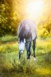 Il cavallo grigio pasce sul paesaggio di autunno fotografia stock libera da diritti