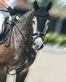 Il cavallo grigio pezzato ed il cavaliere di dressage nell'esecuzione uniforme saltano alla concorrenza di salto di manifestazion immagine stock libera da diritti