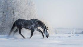 Il cavallo grigio spagnolo cammina su libertà ad orario invernale immagine stock