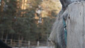 Il cavallo grigio sta considerandovi stock footage
