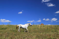 Il cavallo grigio su un prato Fotografie Stock