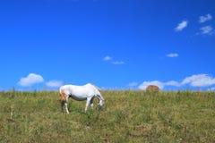 Il cavallo grigio su un prato Fotografia Stock