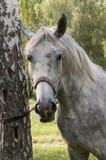 Il cavallo grigio vicino all'albero Immagine Stock Libera da Diritti