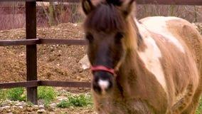 Il cavallo islandese marrone amichevole cammina nella recinzione video d archivio