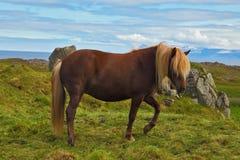 Il cavallo lucido Immagini Stock