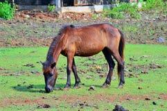 Il cavallo mangia l'erba Immagine Stock
